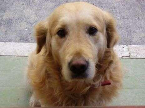 Regalo golden retriever maschio sanremo labrador rescue for Regalo offro gratis