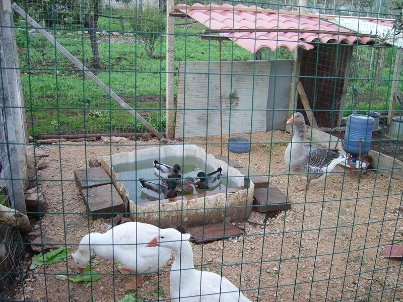 La vasca per gli anatidi cocincina poultry community for Vasca per anatre