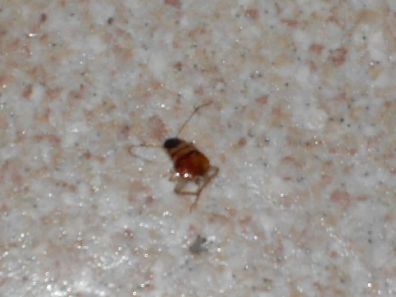 Blatte in cucina pestforum
